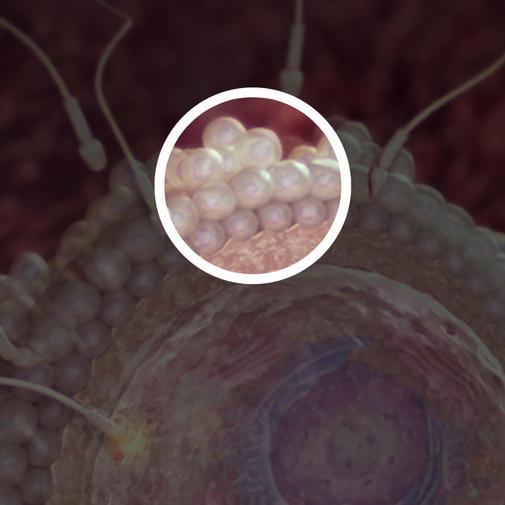 2 კვირა - კვერცხუჯრედის დამცავი უჯრედების შრე