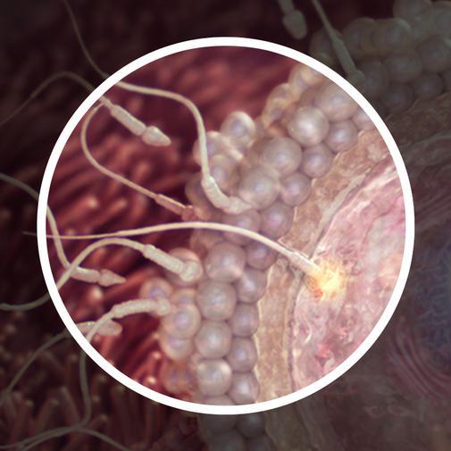 2 კვირა - სპერმატოზოიდის შეღწევა კვერცხუჯრედში